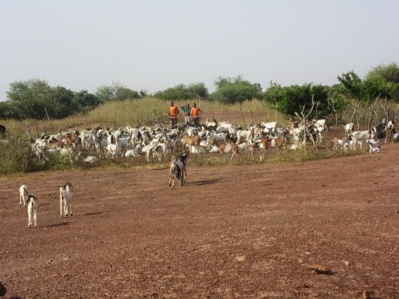 Elevage de chèvre
